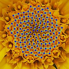 Disk florets of yellow chamomile (Anthemis tinctoria) with spirals indicating the arrangement drawn in. Image via Alvesgaspar/Wikipedia