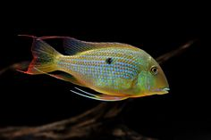 © Ryan O' Donnell 125 Gallon Aquarium, Aquarium Set, Tropical Fish Aquarium, Fish Aquariums, Aquarium Ideas, South American Cichlids, Monster Fishing, Water Life, Beautiful Fish