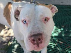 POE – A1081834 MALE, WHITE / TAN, AM PIT BULL TER MIX, 1 yr STRAY – STRAY WAIT, HOLD FOR ID Reason MOVE2PRIVA Intake condition EXAM REQ Intake Date 07/19/2016, From NY 11221, DueOut Date 07/26/2016,