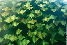 Migrating stingrays