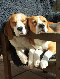 Two beagle buddies chilling in a chair