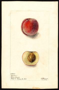 watercolor by deborah griscom passmore (1902)