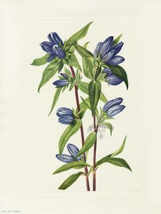 "Antique prints of ""Bottle Gentian"" from Walcott North American Wild Flowers 1925"