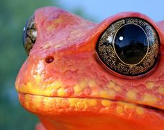 This frog has awesome eyes