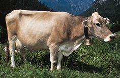Photograph:Brown Swiss cow.