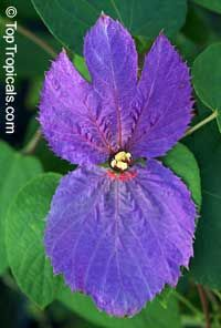 """Dalechampia dioscoreifolia, """"Winged Beauty"""" -- a euphorbia with brightly colored bracts surrounding a small yellow flower (like a poinsettia)."""