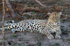 Leopards, African Safari, Wild Life, Big Cats, Animal Pictures, Animals, Images Of Animals, Animales, Animaux