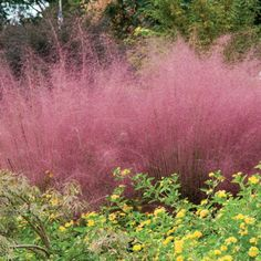 Pink Muhly Grass - airy pink blooms appear in late summer topping out at about 4 ft tall.  Clumps get about 3 ft wide.  Full sun or part shade, deer resistant.  Also drought-tolerant once established.
