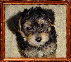 yorkie poo puppies - Google Search