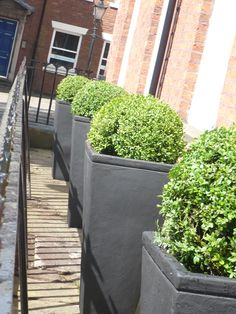Fashionable box balls in tall tapered squares  Barton grange landscapes