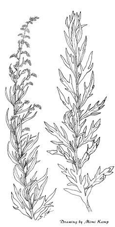 Artemesia_douglasiana.gif (1101×2175)