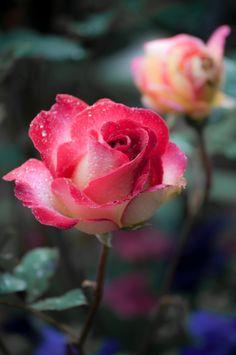 Rosa / Rose / Rosas / Roses