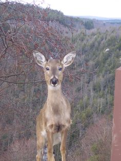 Deer At Blackwater Falls, WV 4 14 13