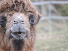 Camel female by Romuald Statkiewicz
