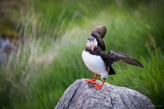 atlantic puffin by Martin Zorn on 500px