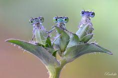 Tri gêmeos
