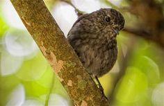 NZ Robin on Kapiti Island.