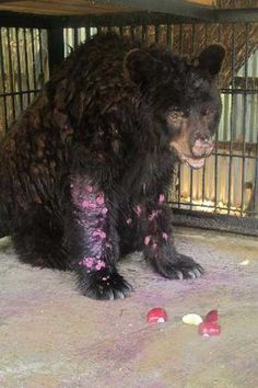 'Zoo Of Death' in Indonesia shows shocking animal cruelty! Here's why it needs to be shut down | Latest News & Gossip on Popular Trends at India.com. Here is a bear waiting for his death - no vet care