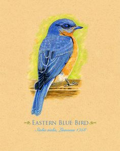 Art Print Blue Bird Bluebird 8 x 10 inches via Etsy