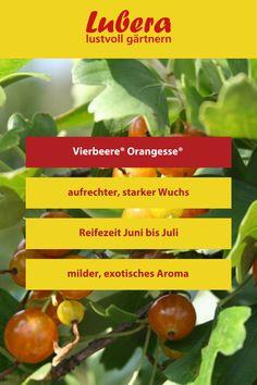 Die orangefarbenen Früchte unserer Vierbeere® Orangesse® sind ein echter Hingucker. Aber auch ihr mildes exotisches Aroma ist ein Genuss. Mehr Infos und Tipps finden sie in unserem Shop ↓  ↓  ↓ _______________________________________________________#vierbeere #mild #aromatisch #etosches #aroma #früchte #garten #gärtnern #gartengestaltung Eco Friendly, Buildings, Houses, Stuffed Peppers, Vegetables, Food, Large Plants, Fertility, News