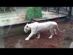 Preservation Station | Worlds Rarest Tigers | Barefoot Landing, North Myrtle Beach