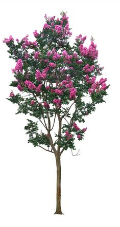 , Purple Flowers, The tree, PNG and PSD plants – tree Purple Trees, Purple Flowers, Lagerstroemia Indica, Tree Psd, Tree Photoshop, Myrtle Tree, Studio Background Images, Tree Silhouette, Flowering Trees