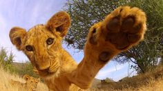 Curious Lion Cub Has a Most Magnificent Roar! See a gorgeous lion cub with a very inquisitive nature. Big Cats, Cool Cats, Baby Animals, Cute Animals, Wild Animals, Lions Photos, Lion Pictures, Lion Cub, Tiger Cub