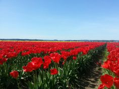 Roozengaarde has amazing tulip fields where you can tour, take photos, buy bulbs, and take in the amazing views!