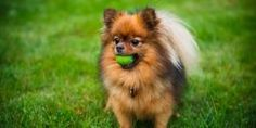 Best Dog Toys, Best Dogs, Yorkshire Terrier, Le Plus Grand Chien, Yorky Terrier, Love My Dog, Spitz Dogs, Save A Dog, Miniature Dogs