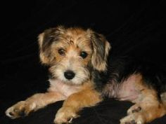 Poogle (Poodle-Beagle Mix) Facts, Temperament, Puppies, Pictures