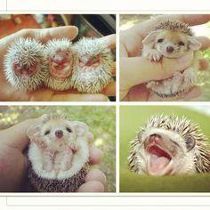#hedgehog #exotic pets