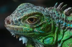 Head of a green iguana for sale in pet section of Souq Waqif (Old Market). Doha, Qatar,