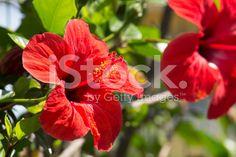 Hibiscus flowers stock photo 43727336 - iStock