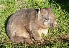 Wombat wombat wombat hairy amazing nosed northern
