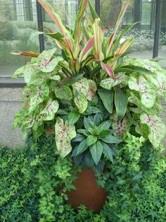 Beautiful container of caladiums and ornamental corn overflowing with ivy.
