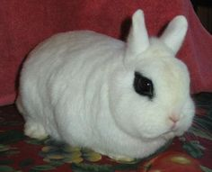 6 Dwarf Hotot Bunnies located in Bangor, Maine Silly Rabbit, Bunny Rabbit, Rabbits For Sale, Funny Animals, Cute Animals, Bangor Maine, Bunny Hutch, Rabbit Breeds, Dwarf