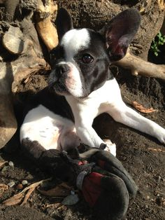 This is Pig. She has a condition called hemivertebrae which is why we adopted her. Her back legs don't work very well but she's very happy in her boots chewing on a tree stump in the yard! I Miss Her, Tree Stump, Passed Away, Sweet Girls, Boston Terrier, Adoption, Yard, Legs, Boots