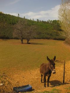 Every homestead needs a burro named Hector. Hector the Burro. Hector the Hero.