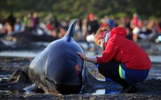 Hundreds of whales strand on N.Z. beach