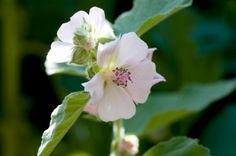 Althaea officinalis, althaea root or althaea root, mallow root, mortification root, Schloss tea, sweet weed, Hock herb.Medicinally used for treating  inflammation of the gastric mucosa, and for irritation of the oral and pharyngeal mucosa. When combined with other herbs, it is additionally used for mild respiratory symptoms, including cough. The root is traditionally used to support a healthy digestive system.