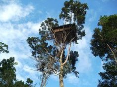 These dwelling tree-house can typically be found in the Korowai tribe area of New Guinea. Some tree house can be as high up as 165 feet (50 meters) in the air.