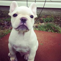 Frenchie Pup - OMG isn't he so adorable?!