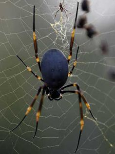 The Golden Silk Spider is also known as the Giant Wood Spider. They create silk coloring that is gold which is very different from other types of Spiders. Huge Spiders, Types Of Spiders, Spiders And Snakes, Wood Spider, Spider Art, Spider Webs, Les Reptiles, Parent Trap, Snakes