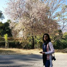New #blogpost We encountered cherry blossoms in North India last November.  Click the link in the bio for more. #cherryblossoms