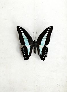 G is for Graphium sarpedon by LoveMissB, via Flickr