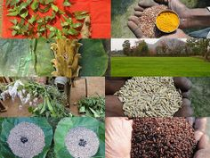Validated and Potential Medicinal Rice Formulations for Hypertension (High Blood Pressure) with Diabetes mellitus Type 2 Complications (TH Group-290) from Pankaj Oudhia's Medicinal Plant Database