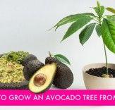 diy avocado tree