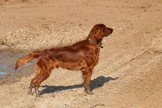 Irish setter collie cross breed - AOL Image Search Results Collie, Image Search, Irish, Dogs, Red, Animals, Animales, Irish Language, Animaux