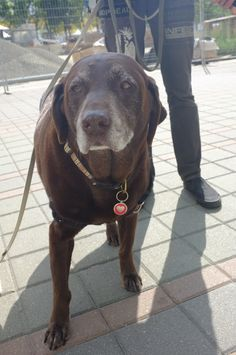 Buddy the #ChoclateLab - she's one of the wise elders of the group!
