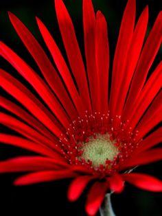Barberton Daisy (Gerbera jamesonii)